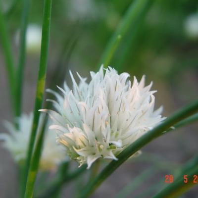 Allium schoenoprasum 'Album' - Bieslook - Allium schoenoprasum 'Album'