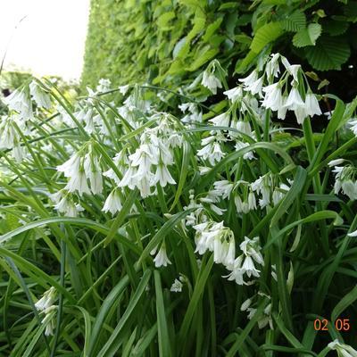 Allium triquetrum -