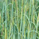 Andropogon gerardii 'Yellow Arrow' - Baardgras - Andropogon gerardii 'Yellow Arrow'