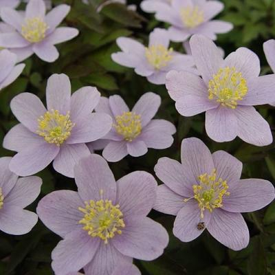 Anemone nemorosa 'Blue Beauty' - Bosanemoon