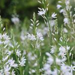 Graslelie - Anthericum liliago