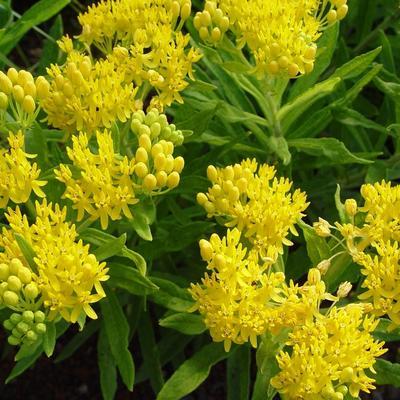 Asclepias tuberosa 'Hello Yellow' -