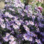 Aster cordifolius 'Blue Heaven' - Aster