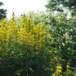 Baptisia sphaerocarpa - Gele wilde indigo