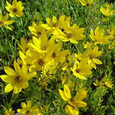 Coreopsis 'El Dorado' -