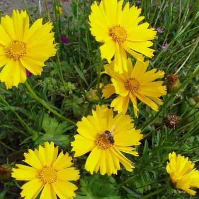 Coreopsis grandiflora 'Sunburst' -