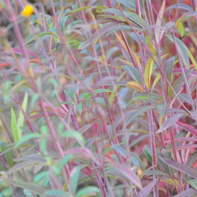 Coreopsis tripteris 'Red November' -