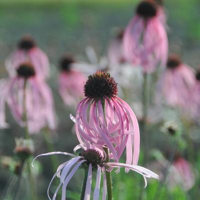 Echinacea pallida 'Satin Lights' -