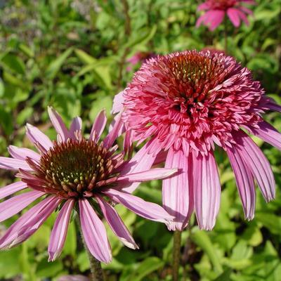Echinacea purpurea 'Pink Sorbet' -