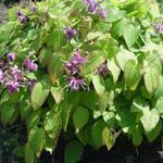 Epimedium grandiflorum 'Shiho' - Elfenbloem - Epimedium grandiflorum 'Shiho'