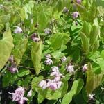 Elfenbloem - Epimedium 'Sasaki'