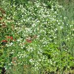 Euphorbia corollata - Euphorbia corollata - Prairie gipskruid