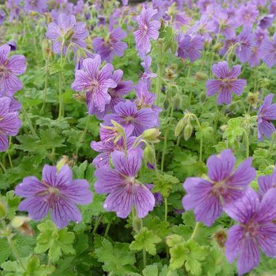 Geranium 'Alan Mayes' - Ooievaarsbek - Geranium 'Alan Mayes'