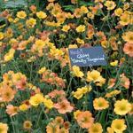 Nagelkruid - Geum 'Totally Tangerine'