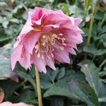 Helleborus orientalis 'DOUBLE ELLEN Pink' - Nieskruid - Helleborus orientalis 'DOUBLE ELLEN Pink'
