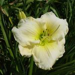 Daglelie - Hemerocallis 'Cool It'
