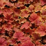 Purperklokje - Heuchera 'Delta Dawn'