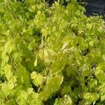 Humulus lupulus 'Aureus' - Hop