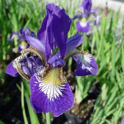 Iris sibirica 'Blue Moon' -