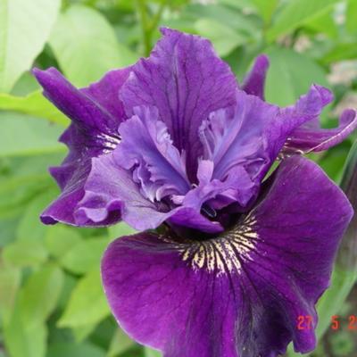 Iris sibirica 'Ruffled Velvet' - Siberische lis - Iris sibirica 'Ruffled Velvet'