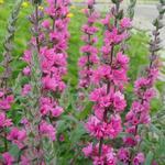 Lythrum salicaria 'Pink Blush' - Kattenstaart - Lythrum salicaria 'Pink Blush'