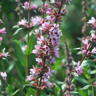 Lythrum salicaria 'Pink Tails' - Kattenstaart - Lythrum salicaria 'Pink Tails'