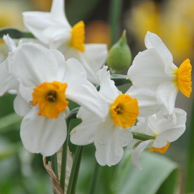 Narcissus poetaz 'Geranium' -