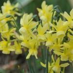 Narcissus triandrus 'Hawera' - Triandrusnarcis