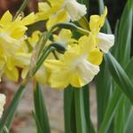 Narcissus 'Pipit' - Narcis