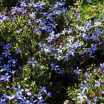 Pratia pedunculata 'County Park' - Pratia - Pratia pedunculata 'County Park'