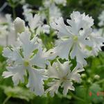 Primula sieboldii 'Queen of Whites' - Sleutelbloem - Primula sieboldii 'Queen of Whites'