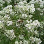 Pycnanthemum pilosum - Bergmunt - Pycnanthemum pilosum