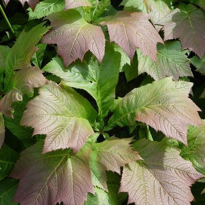 Rodgersia podophylla -