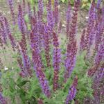 Bossalie - Salvia nemorosa 'Senior'