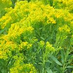 Guldenroede - Solidago ohioensis  'Four Seasons'