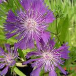 Stokesia laevis 'Purple Parasols' - Korenbloemaster - Stokesia laevis 'Purple Parasols'