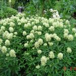 Trifolium pannonicum 'White Tiara' - Hongaarse klaver - Trifolium pannonicum 'White Tiara'