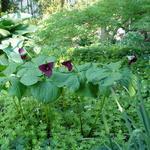Trillium erectum - Drieblad/Boslelie - Trillium erectum