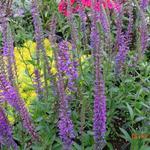 Veronica longifolia 'Sonja' - Ereprijs - Veronica longifolia 'Sonja'