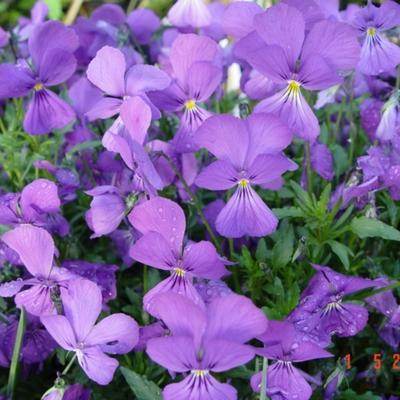 Viola corsica -