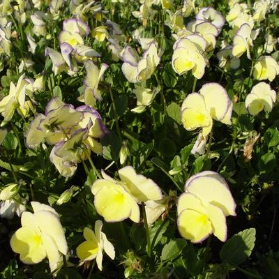 Viola cornuta 'Etain' - Viooltjes - Viola cornuta 'Etain'