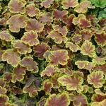 X Heucherella 'Solar Eclipse' - Purperklokje