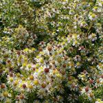 Aster ericoides 'Golden Spray' - Herfstaster