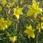 Hemerocallis 'Corky' - Daglelie