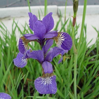 Iris sibirica 'Caesar's Brother' - Siberische lis - Iris sibirica 'Caesar's Brother'