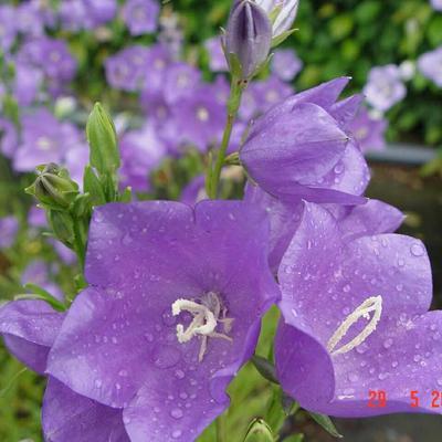Campanula persicifolia 'Grandiflora Caerulea' - Perzikbladklokje - Campanula persicifolia 'Grandiflora Caerulea'