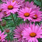 Echinacea purpurea 'JS Robin Hood' - Rode zonnehoed - Echinacea purpurea 'JS Robin Hood'