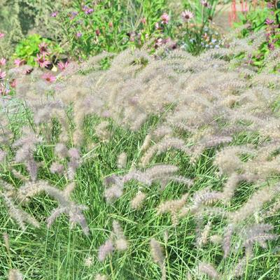 Pennisetum orientale 'JS Dance With Me' -