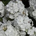 Phlox paniculata 'Anne' - Vlambloem / Flox - Phlox paniculata 'Anne'