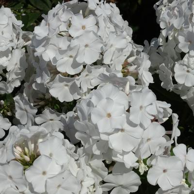 Phlox paniculata 'Anne' -